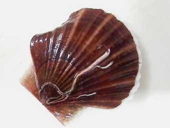 殻が変形している帆立稚貝