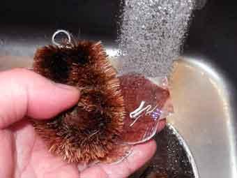 帆立稚貝をタワシで洗う