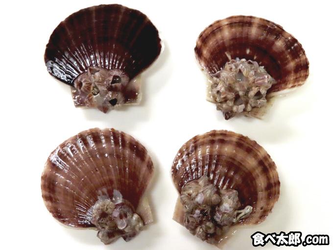帆立稚貝に付くフジツボ