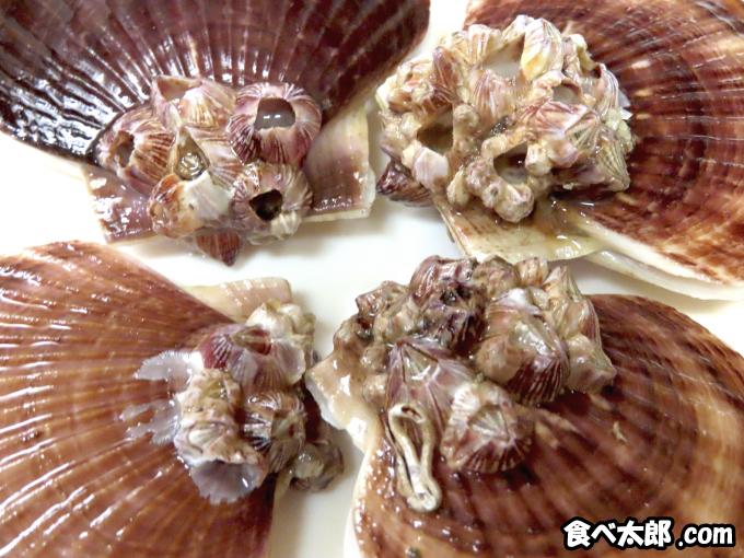 帆立稚貝とフジツボ