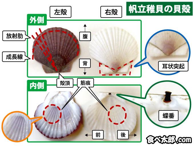 帆立稚貝の貝殻の図