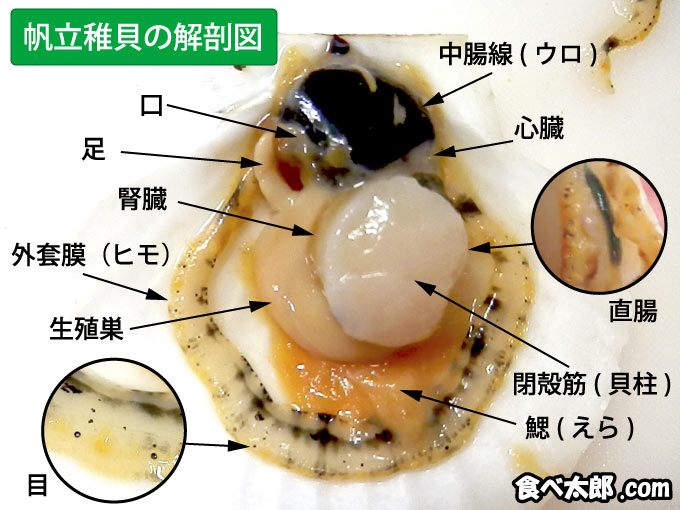 帆立稚貝の解剖図