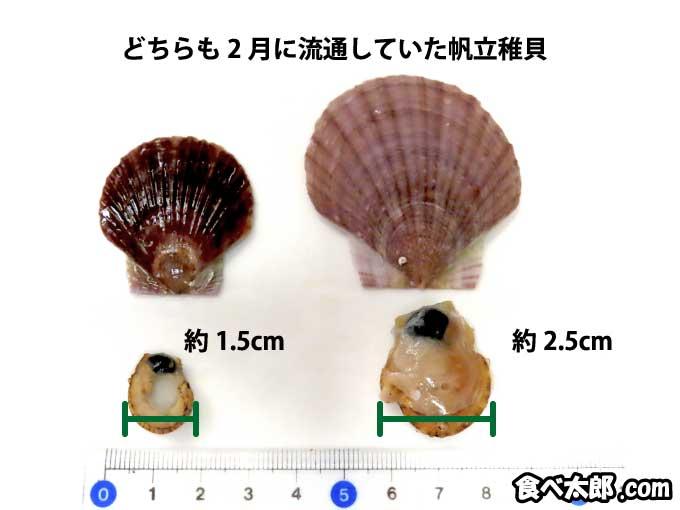 2月の帆立稚貝の大小サイズ