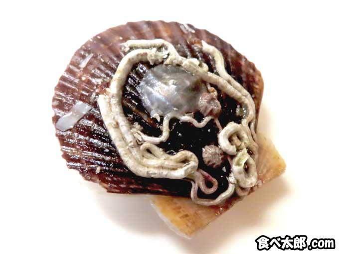 帆立稚貝に付着する貝の幼生
