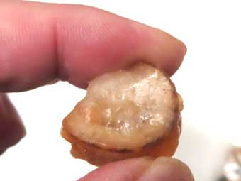 氷膜でコーティングされた帆立稚貝