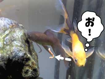 カサネカンザシと鉄魚