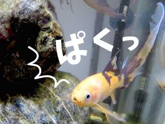 カサネカンザシ食べる鉄魚