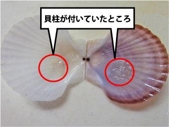 帆立稚貝の貝柱の場所