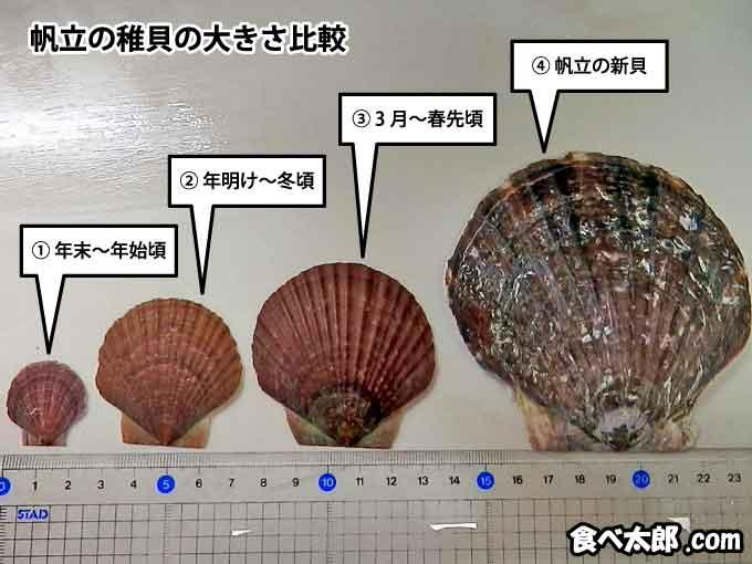 帆立稚貝の大きさの比較