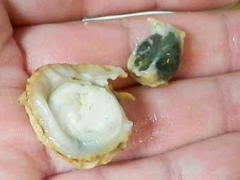 帆立稚貝のウロ(中腸線)を取る
