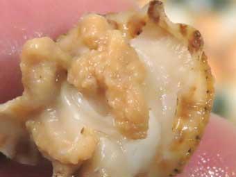 帆立稚貝のエラ