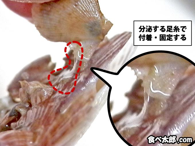 帆立稚貝の足糸