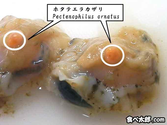 帆立稚貝に寄生するホタテエラカザリ