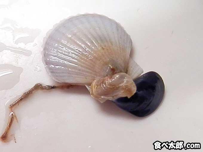 帆立稚貝に付着した二枚貝類
