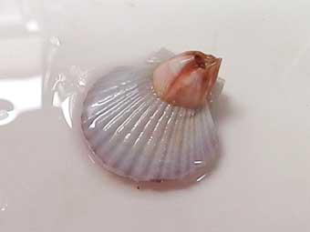 帆立稚貝に付着した大きめのフジツボ