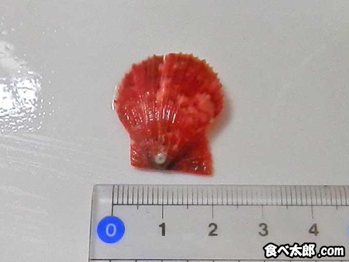 2cmほどの真っ赤な帆立稚貝