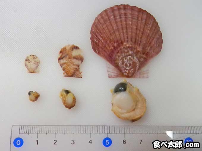 帆立稚貝と付着期の稚貝