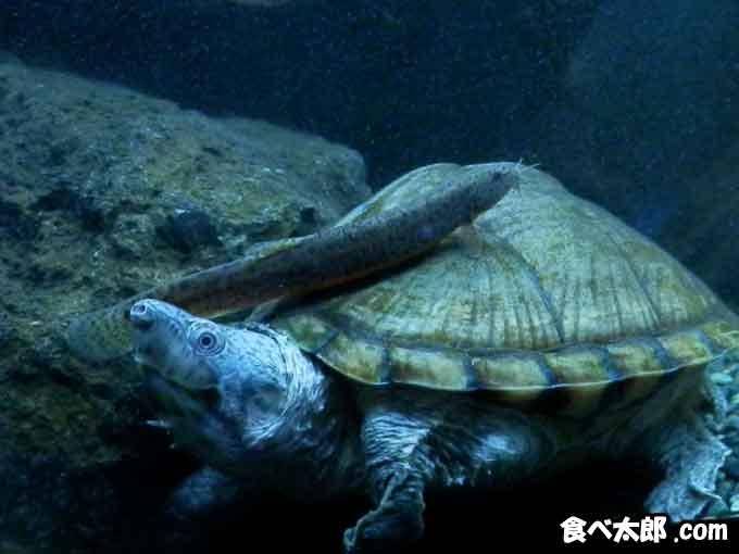 カブトニオイガメのてんてんちゃん