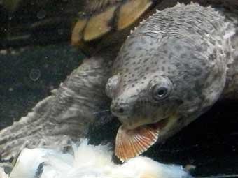 フジツボを食べるカブトニオイガメ