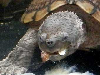 カサネカンザシを食べるカブトニオイガメ
