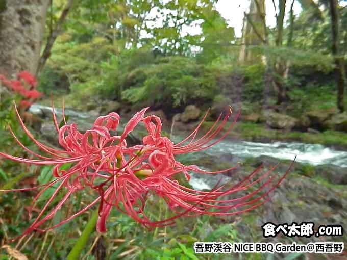 吾野渓谷ナイスバーベーキューガーデンに咲いていた曼珠沙華